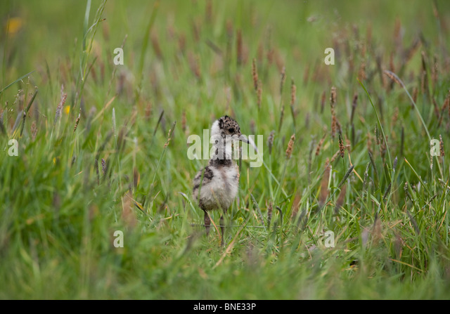 Lapwing chick. - Stock Image