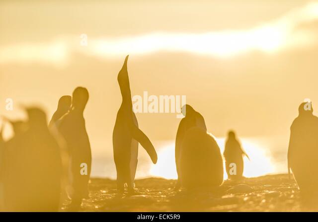 South Atlantic Ocean, South Georgia Island, king penguin (Aptenodytes patagonicus) - Stock Image