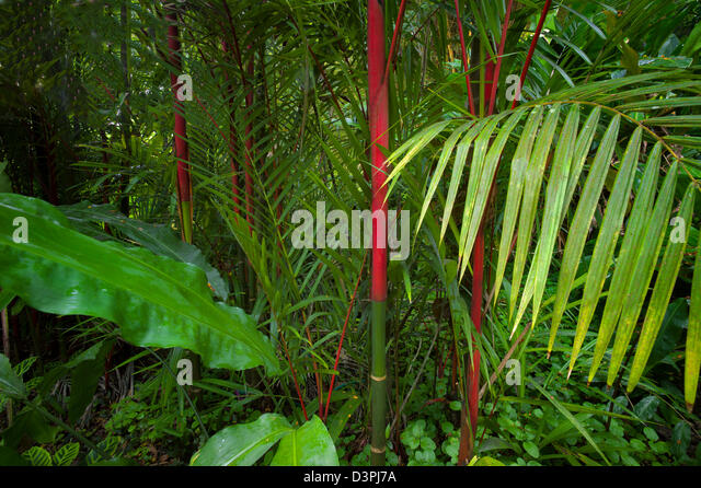 Red trunks of Sealing Wax Palm. Hawaii Tropical Botanical Gardens. Hawaii, The Big Island. - Stock Image