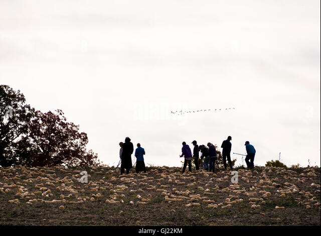 Harvesting Butternut Squash. A group of workers harvest butternut squash from a field.  A gaggle of geese flies - Stock Image