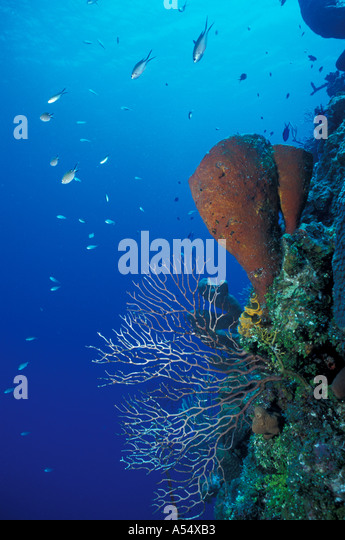 Cayman Islands West Indies Caribbean Little Cayman Underwater Wall at Bloody Bay - Stock Image