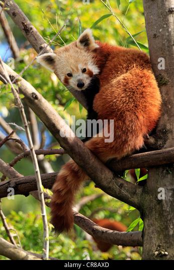 Red panda (Ailurus fulgens fulgens), tree, Asia - Stock Image