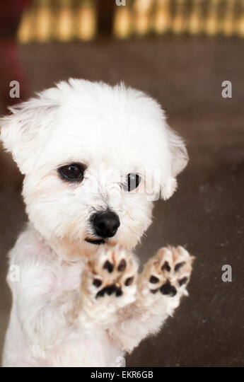 Maltese dog paws on glass door - Stock Image