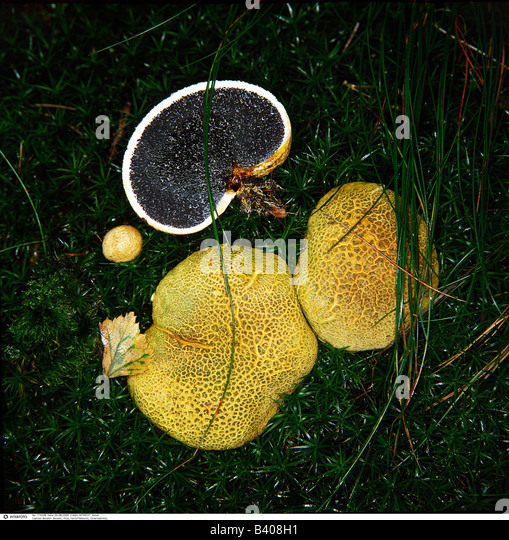 botany fungi Orchids and fungi: an unexpected case of symbiosis date: july 12, 2011 source: american journal of botany summary: the majority of orchids are found in habitats where light may be a limiting factor.