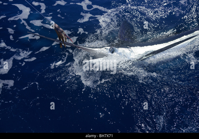 Marlin fish food stock photos marlin fish food stock for Atlantic game fish