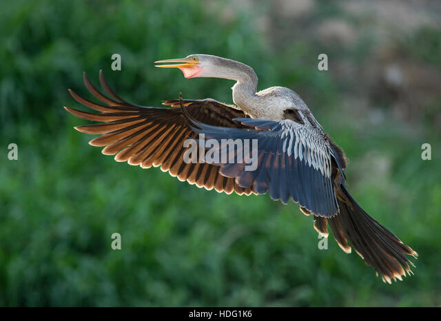 Backlit Anhinga (Anhinga anhinga) in flight - Stock Image