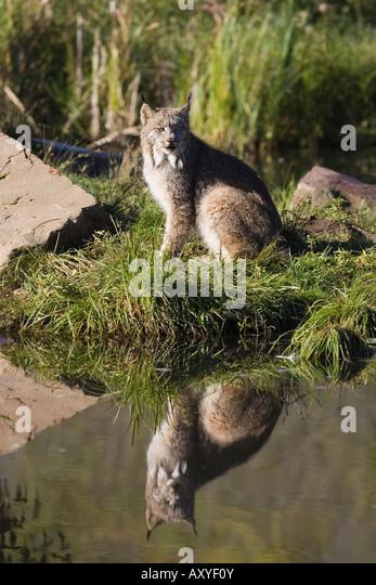 Lynx (Lynx canadensis) reflected sitting at waters edge, in captivity, Minnesota Wildlife Connection, Minnesota, - Stock-Bilder