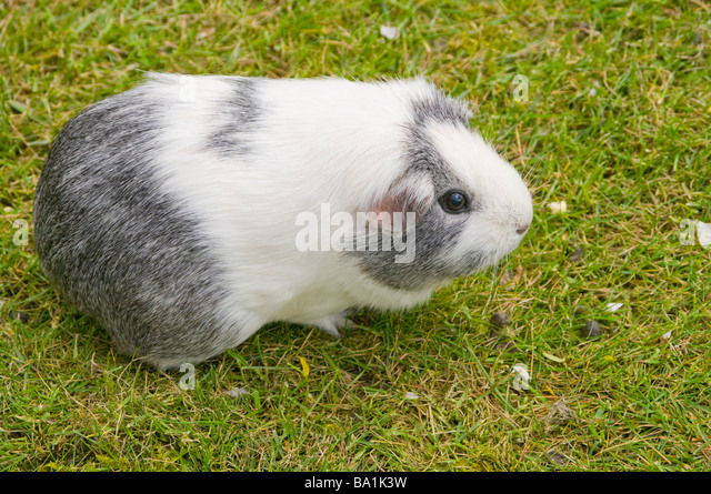 Black and White Guinea Pig Cavia porcellus household pet pets pigs - Stock Image