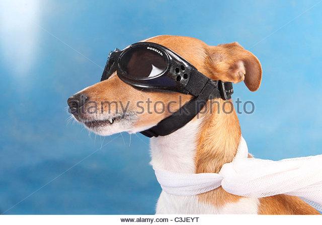 Jack Russell Terrier, Studio, mit Sonnenbrille, Schal - Stock-Bilder