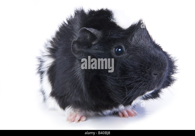 Black and white Abyssinian Guinea pig or Cavy isolated on white background - Stock Image
