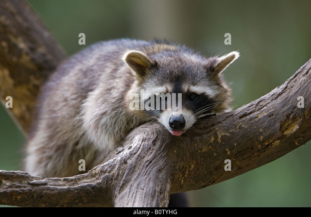 Common raccoon on a tree - Procyon lotor - Stock Image