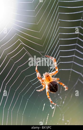Garden spider in backlight - Araneus diadematus - Stock-Bilder