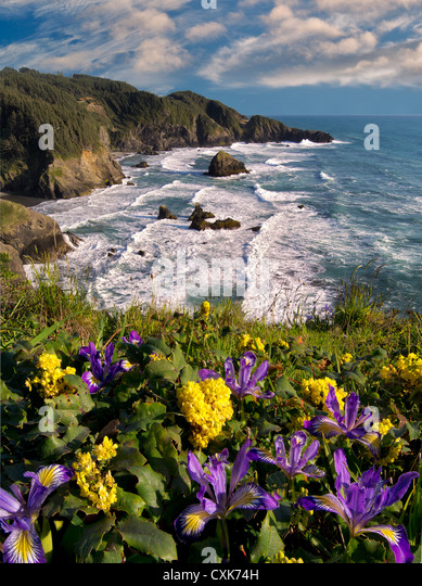 Wild Iris and Oregon Grape growing on cliff overlooking Samuel H. Boardman State Scenic Corridor. Oregon - Stock-Bilder