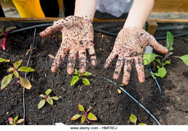 Middle schoolboy with dirty potting soil hands gardening planting plants - Stock-Bilder