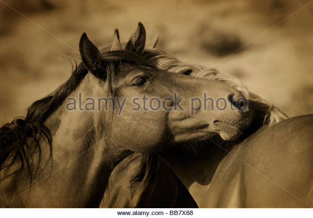 Portrait of Wild Horse, California - Stock-Bilder