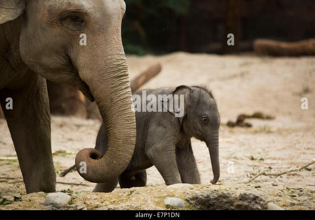 Animals, elephants, young, elephant, zoo Zurich, animals, animal, canton Zurich, zoo, Switzerland, Europe, - Stock Image