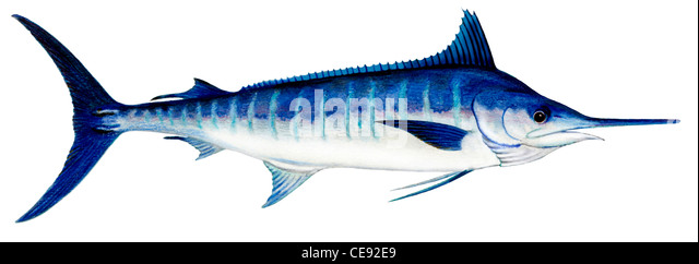 Atlantic Blue Marlin (Makaira nigricans), drawing. - Stock Image