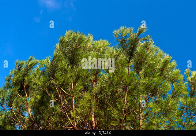 Scots Pile tree branches - France. - Stock Image