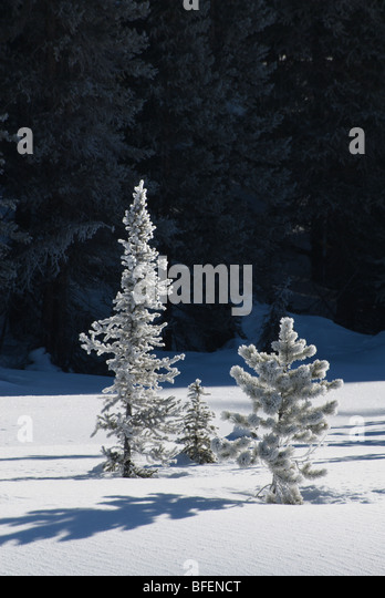Mixed boreal forest, Graveyard Flats, Banff National Park, Alberta, Canada - Stock Image