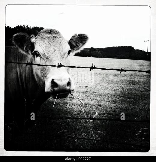 Cow behind barbed wire fence - Stock Image