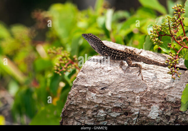 Brown Anole - Birch State Park - Fort Lauderdale, Florida USA - Stock Image