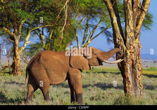 African elephant (Loxodonta africana) - Stock-Bilder