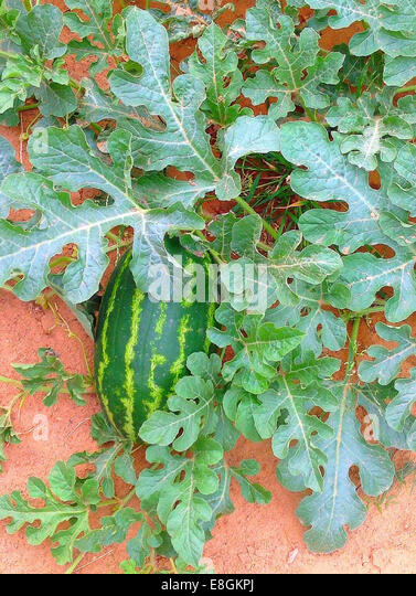 USA, Texas, Dimmit County, Watermelon growing on field - Stock Image