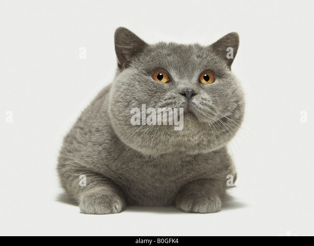 Close up of large grey cat - Stock Image