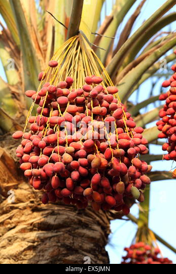 Ripe dates, Al Markh, Kingdom of Bahrain - Stock Image