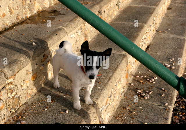Small black and white dog Jack Russel dog on steps - Stock Image