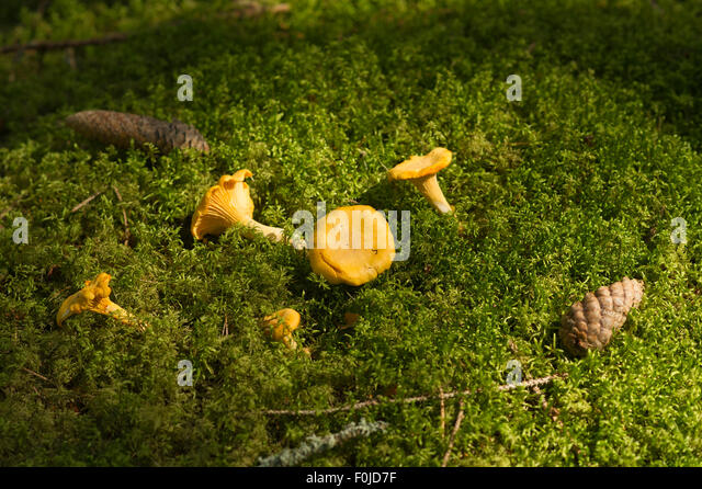Chanterelles in green moss in a forest in Sweden. - Stock Image