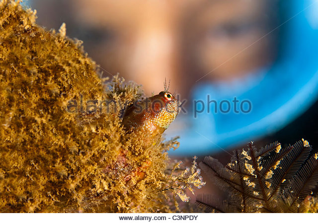 Close-up of a Blenny fish - Stock Image