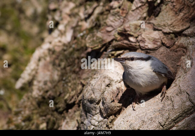 Nuthatch (Sitta europaea) - Stock Image