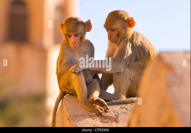 Monkeys at Tiger Fort, Jaipur, Rajasthan, India, Asia - Stock Image