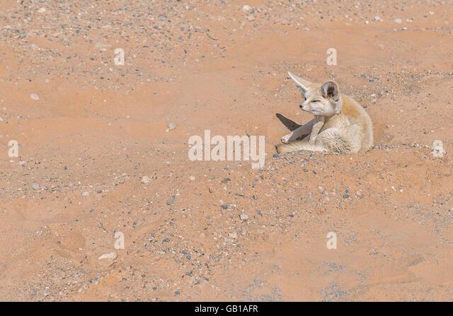 Fennec fox in the Sahara desert. - Stock Image