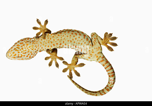 Tokay gecko Gekko gecko View from below showing specially adapted feet Dist South East Asia - Stock-Bilder