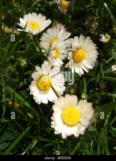 Close up of daisy flowers - Stock Image