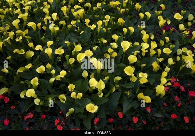 Yellow Calla Lily. - Stock Image