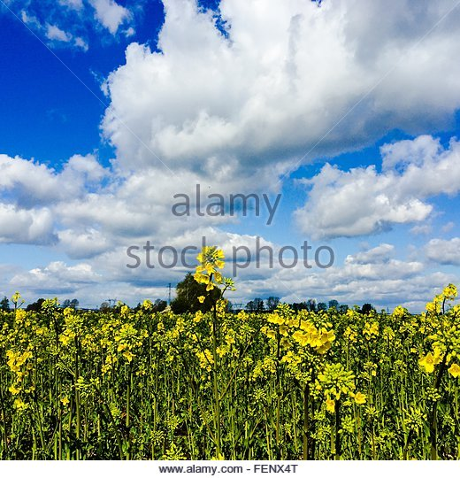 View Of Yellow Flowers Growing In Field - Stock Image