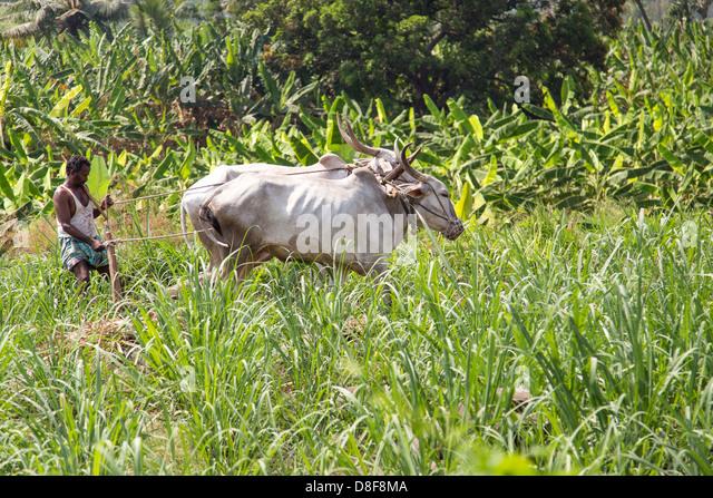 Plowing a field in Karnataka, India - Stock Image