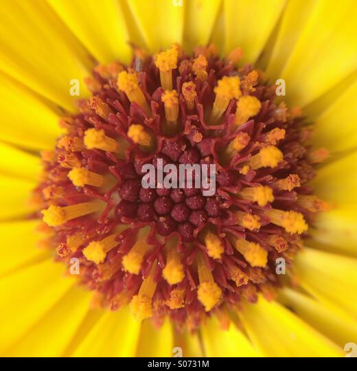 Macro of a yellow flower - Stock Image