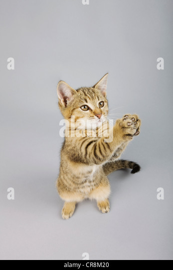 Cat standing on back legs - Stock Image