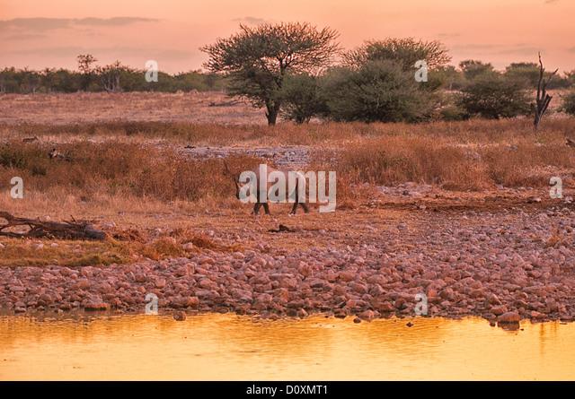 Africa, Etosha, National Park, Namibia, Warm, dusk, horizontal, rhino, animal, sundown, sunset, walking, watching, - Stock Image