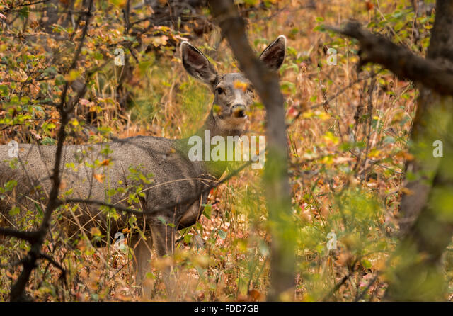 Deer hiding in the woods - Stock Image