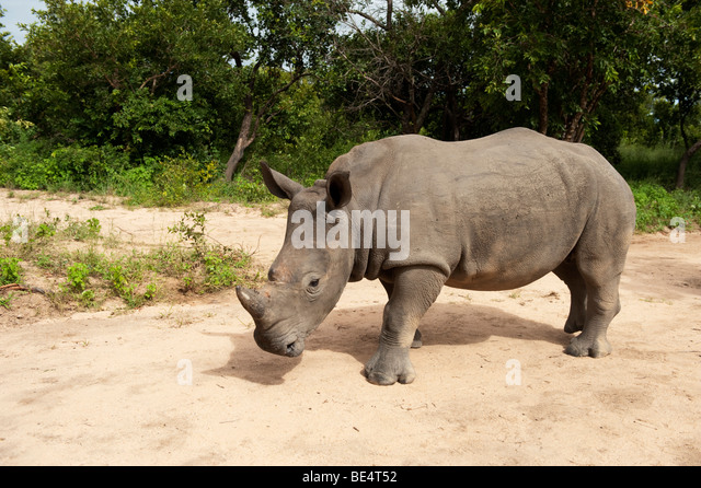 White rhinoceros (Ceratotherium simum), Hoedspruit Endangered Species Centre, Kapama, South Africa - Stock Image