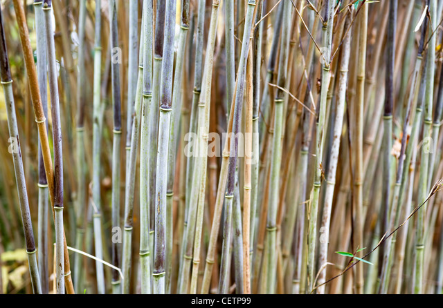 bamboo canes growing - Stock-Bilder