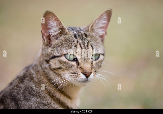 Africa, Sambia, Cat, portrait - Stock Image