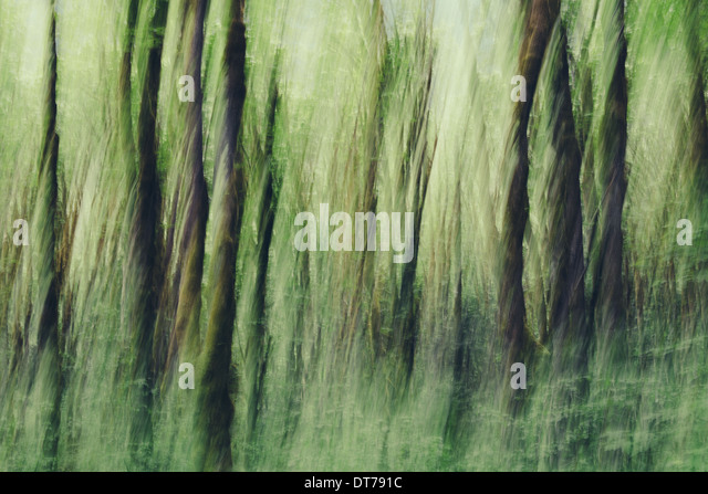 Lush forest of moss covered Big leaf maple trees (Acer macrophyllum), blurred motion, Dosewallips River, Olympic - Stock Image