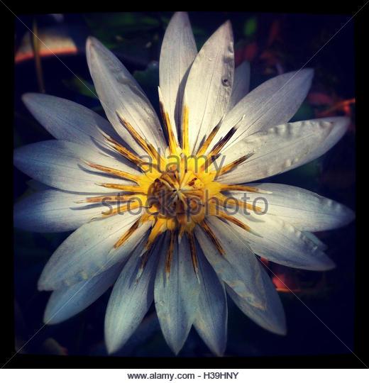 white lotus flower - Stock Image