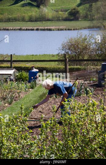 Senior woman tending her allotment - Stock Image